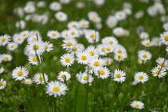 春黄菊一些 图库摄影