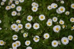 春黄菊一些 免版税库存照片