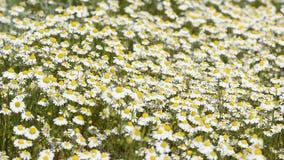 春黄菊丛林在春天草甸的 影视素材