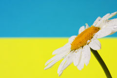 春黄菊乌克兰b 向量例证