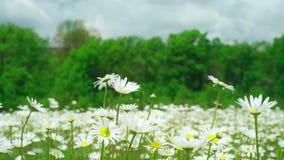 春黄菊侧视图开花与摇摆在风的软的焦点 开花的春黄菊在绿色春天草甸 bossies 股票录像
