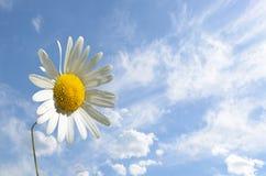 春黄菊反对天空(和平,健康,魔术的花特写镜头, 免版税库存照片