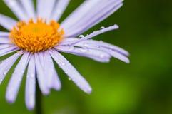 春黄菊和下落 库存图片