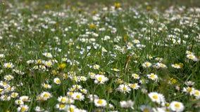 春黄菊和其他领域植物草甸草的 详细资料 股票视频