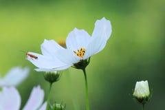 春黄菊和甲虫 库存照片