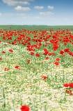 春黄菊和鸦片野花 免版税库存图片