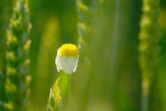 春黄菊和绿色麦子 免版税库存图片