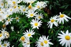春黄菊在庭院里 免版税库存照片