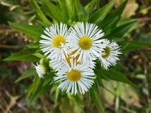 春黄菊在庭院里 库存图片