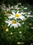 春黄菊在庭院里 免版税图库摄影