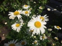 春黄菊在庭院里 免版税库存图片