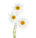 春黄菊在白色背景隔绝的春白菊三朵花  免版税库存照片