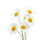 春黄菊在白色背景隔绝的春白菊花束  库存图片
