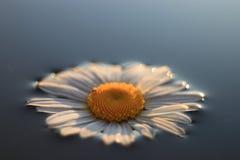 春黄菊在镇静水中 免版税库存照片