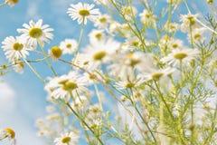 春黄菊属arvensis 库存图片