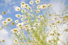 春黄菊属arvensis 库存照片