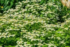 春黄菊或春黄菊 库存照片
