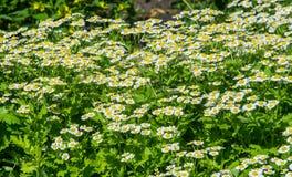 春黄菊或春黄菊 库存图片