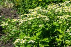 春黄菊或春黄菊 图库摄影