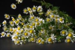 春黄菊或春黄菊 免版税图库摄影