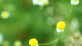 春黄菊春黄菊花 与动力化的滑子的充分的HD 1080p 免版税库存图片