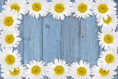 春黄菊框架在木头的 免版税库存照片