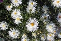春黄菊白色颜色在庭院里开了花 免版税库存图片