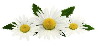 春黄菊的构成在白色背景开花 免版税库存图片