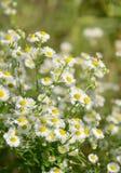 春黄菊的白花 免版税库存图片