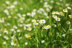 春黄菊的领域 免版税库存照片
