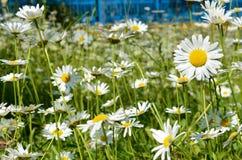 春黄菊花在一个晴朗的草甸(和平,健康,浓缩的魔术- 库存图片