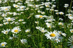 春黄菊花在一个晴朗的草甸(和平,健康,浓缩的魔术- 免版税库存照片