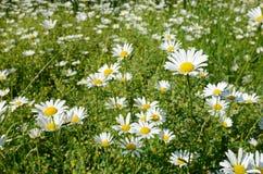 春黄菊花在一个晴朗的草甸(和平,健康,魔术, desir 免版税库存照片
