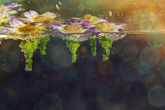 春黄菊花在与泡影的水中 库存图片