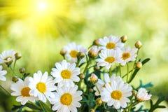 春黄菊花在夏天,被弄脏的背景 免版税库存照片