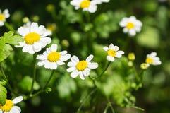 春黄菊花在庭院里 免版税库存照片
