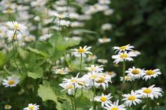 春黄菊花在庭院里 免版税库存图片