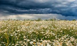 春黄菊花的领域在背景剧烈的风雨如磐的多雨天空的在一个夏日 免版税库存照片