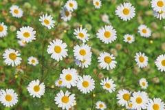 春黄菊草甸 库存图片