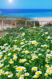 春黄菊领域和绿草在海的背景。 免版税库存图片