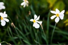 春黄菊领域夏令时 库存照片