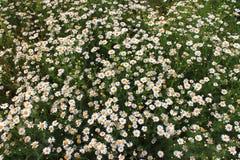 春黄菊领域 库存图片