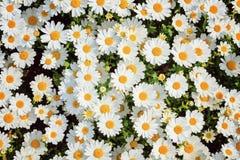 春黄菊领域 图库摄影