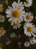 春黄菊,许多雏菊 库存图片