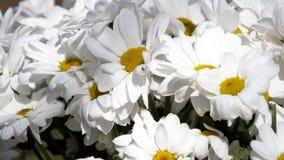 春黄菊-春黄菊花花束,看法的关闭 库存图片