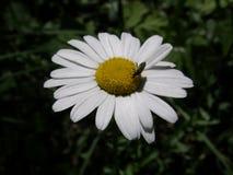 春黄菊 免版税库存照片
