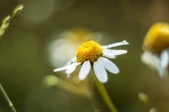 春黄菊 库存图片