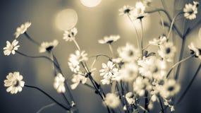 春黄菊chamomilla开花例证母菊属向量 免版税图库摄影