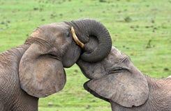 是两头的大象交错的富感情的树干 库存照片