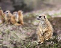 是其他2个的婴孩氏族系列meerkat成员注意 免版税图库摄影